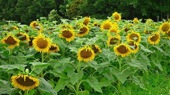 神戸市須磨区の神戸総合運動公園でヒマワリの花が咲いたと知り、ゴンママと二人で車に乗って鑑賞に行きました。<br /><br />山の斜面を利用したヒマワリ畑は、満開になっていましたが、見る位置が極一部の方角しか花が見えず、消化不良を起こしてしまいました。<br /><br />運動公園の写真が多いので、3冊になっていますが、続けて加東市の「ひまわりの丘」へ行くことにしました。<br /><br />写真は、神戸総合運動公園のヒマワリの丘の風景です。