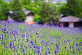 2019年SFC修行! 初夏のファーム富田と旭山動物園1泊2日(1日目:富良野でサイクリング)