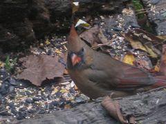 インディアナ州 テレホート出張で出会った野鳥達 2009年秋