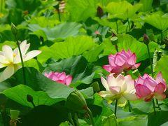 万博公園の日本庭園に咲く花蓮を見に行きました(4) 日本庭園の花蓮 下巻。