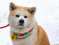 秋田冬旅02 : 大館アメッコ市でめごすぎる秋田犬と丸髷美人に癒される