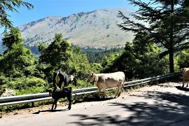 魅惑のシチリア×プーリア♪ Vol.64 ☆マドニエ国立公園:道路に優雅に歩く牛たち♪
