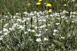 魅惑のシチリア×プーリア♪ Vol.66 ☆マドニエ国立公園ピアーノ・バッターリア:美しい高山植物♪