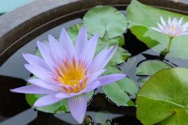 モネが夢見た青い睡蓮をもとめて~モネの庭~高知北川村へ