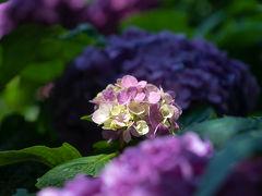 2017 鎌倉瑞泉寺と妙法寺の紫陽花