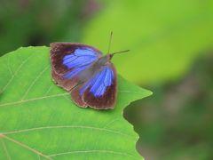 森のさんぽ道でみられた蝶(27)ムラサキシジミ、ヒメアカタテハ、コミスジ等