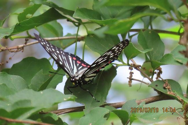7月19日、晴天、午後1時過ぎに川越市の森のさんぽ道へ蝶の観察に行きました。アカボシゴマダラの夏型を一年ぶりに見ました。また、テングチョウも久しぶりに見ることができました。 この時期になるとコミスジやイチモンジチョウがかなり見られるようになりました。 本日に見られたのはアカボシゴマダラ、テングチョウ、コミスジ、イチモンジチョウ、ツマグロヒョウモン、ヒカゲチョウ、ダイミョウセセリ、イチモンジセセリ、アゲハチョウ、ヤマトシジミ、モンシロチョウ、キチョウの計12種類でした。<br /><br /><br />*写真は一年ぶりに見られたアカボシゴマダラの夏型