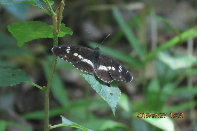7月27日、台風の影響で風が強い一日で、午後1時半頃に川越市の森のさんぽ道へ蝶の観察に行きました。森の外側に当たるところは風が強く、アカボシゴマダラ等は自由に飛翔ができない状態でした。 森の中央部には風の影響がないためにイチモンジチョウ、コミスジがかなり見られました。 今回見られた蝶はイチモンジチョウ、コミスジ、ルリタテハ、アカボシゴマダラ、ツマグロヒョウモン、ツバメシジミ、ヤマトシジミ、ヒカゲチョウの計8種類でした。 蝶以外ではカブトムシ、ノコギリクワガタが見られました。<br /><br /><br />*かなり見られたイチモンジチョウ