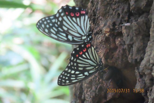 7月31日、35℃以上の猛暑日でした。午後1時半過ぎに川越市の森のさんぽ道へ蝶の観察に行きました。樹液が出ている落葉樹にはかなりのアカボシゴマダラが見られました。ルリタテハも見られました。 当然ながら、カブトムシが多く見られ、カミキリムシ、カナブンも見られました。 本日に見られた蝶はツバメシジミ、ヤマトシジミ、コミスジ、イチモンジチョウ、スジグロシロチョウの計7種類でした。<br /><br /><br />*写真はアカボシゴマダラ2頭