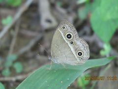 森のさんぽ道で見られた蝶(34)ヒメジャノメ、ルリタテハ、イチモンジチョウ、アカボシゴマダラその他