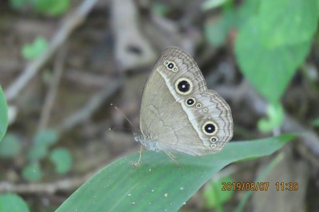 8月7日、昼間の気温が35℃以上の猛暑の中、午前10時20分過ぎに川越市の森のさんぽ道へ蝶の観察に行きました。 落葉樹の樹液に集まっている蝶を集中してみて回りましたところ、今年初めてヒメジャノメを見ました。 ルリタテハがかなり見られました。アカボシゴマダラについては目撃頭数は20頭以上という数えきれないほど森のさんぽ道で見られました。サトキマダラヒカゲについても数えきれないほど見られました。 このほかにイチモンジチョウがかなり見られました。5~6頭見られましたがこの中でアサマイチモンジらしいものも一頭見られました。 その他としてはヤマトシジミ、ベニシジミ、モンシロチョウ、コミスジが見られました。本日に見られた蝶は計9種類でした。<br /><br /><br />*今年初めて見られたヒメジャノメ