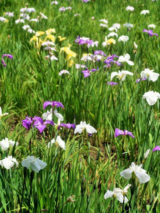 佐倉城下町 菖蒲まつり<br />佐倉城址公園内にある菖蒲田には、紫・黄・白など色とりどりの花菖蒲約9,000株が美しく咲き誇ります。<br />情緒あふれる花菖蒲に囲まれて、憩いのひとときをお過ごしください。※花菖蒲は例年6月上旬~中旬が見ごろです。<br />https://www.city.sakura.lg.jp/0000005612.html より引用<br /><br />ハナショウブ(花菖蒲)はアヤメ科アヤメ属の多年草である。<br />アヤメ類の総称としてハナショウブをアヤメと呼ぶことも多く、間違いにはあたらない(あやめ園、あやめ祭りなど)。 <br />ハナショウブはノハナショウブの園芸種である。6月ごろに花を咲かせる。花の色は、白、桃、紫、青、黄など多数あり、絞りや覆輪などとの組み合わせを含めると5,000種類あるといわれている。 <br /><br />系統を大別すると、品種数が豊富な江戸系、室内鑑賞向きに発展してきた伊勢系と肥後系、原種の特徴を強く残す長井古種の4系統に分類でき、古典園芸植物でもある。他にも海外、特にアメリカでも育種が進んでいる外国系がある。 <br />(フリー百科事典『ウィキペディア(Wikipedia)』より引用)<br /><br />花菖蒲のデータベース については・・<br />http://www.kamoltd.co.jp/katalog/framepage1.htm<br />http://www.tamagawa.ac.jp/agriculture/teachers/tabuchi/dictionary/list_a.html<br />http://niiyairis.net/reference.html<br /><br />佐倉城址公園のご案内<br /> 佐倉城址公園は、佐倉城跡の中に設置されている公園です。公園内には天守閣跡、空堀など城の遺構が多数残され、天守閣跡脇の樹齢約400年の「夫婦モッコク」をはじめ、シイ、カシ、モミジなどの大木がいたる所にある、緑多き歴史公園です。<br /> 天守閣跡や巨大な馬出し空堀、水堀に守られた南出丸や西出丸は必見です。 <br /> 園内には昔、乳母が若君を池のほとりで遊ばせていた際、あやまって若君を溺れさせてしまったという哀しい話が伝わる「姥が池」や、三逕亭(茶室)(さんけいてい)、桜や牡丹、梅、菖蒲園、紅葉などもあり、四季を通じてお弁当を広げる家族連れの姿が見受けられます。 <br /> 公園の東端には、佐倉城に関する模型や古写真、出土遺物などを展示した佐倉城址公園管理センター(佐倉城址公園センター)があります。<br />https://www.city.sakura.lg.jp/0000000987.html より引用<br /><br />佐倉城址公園 については・・<br />https://www.city.sakura.lg.jp/0000000987.html<br />http://maruchiba.jp/sys/data/index/page/id/5828/<br />http://yorimichi.club/2019/06/16/sakurahanasyou/
