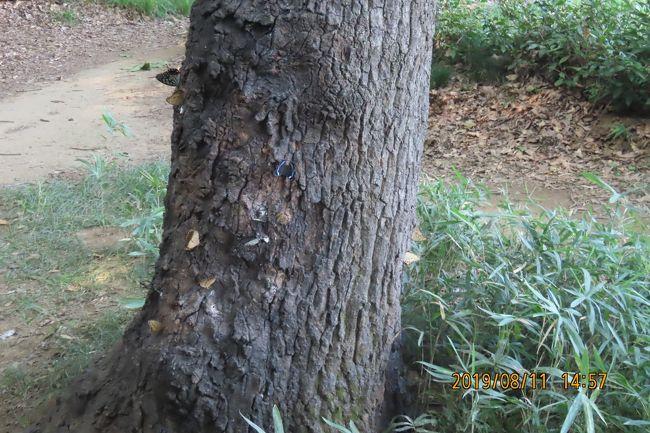8月11日、午後1時過ぎに川越市の森のさんぽ道へ蝶の観察に行きました。 猛暑で汗をかきっぱなしで観察しましたところ、見られた蝶はアカボシゴマダラ、サトキマダラヒカゲ、ルリタテハが多く見られ、その他としてイチモンジチョウ、キチョウ、ヤマトシジミの計6種類でした。 今回は一本の樹液がたっぷり出ているクヌギの幹に12頭以上も止まっているのを初めて見ました。とても壮観でした。 時間帯としては午後3時ころでした。 午後1時半頃に観察したときは4~5頭でした。<br />その他の樹液が出ているクヌギの幹にはアカボシゴマダラ、サトキマダラヒカゲ、ルリタテハが計数頭止まっているのが見られました。<br /><br /><br />*沢山のアカボシゴマダラ、サトキマダラヒカゲ、ルリタテハが止まっている樹液が出ているクヌギの幹