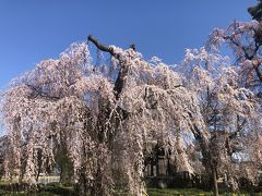 諏訪山安養寺の枝垂桜
