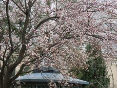 2019春、フラリエの庭園(1):3月19日(1):ファレノプシス、山桜、クリスマスローズ、ヒマラヤユキノシタ