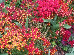 2019春、フラリエの庭園(3):3月19日(3):アシビ、ハチジョウキブシ、藪椿、トサミズキ、スイートアリッサム
