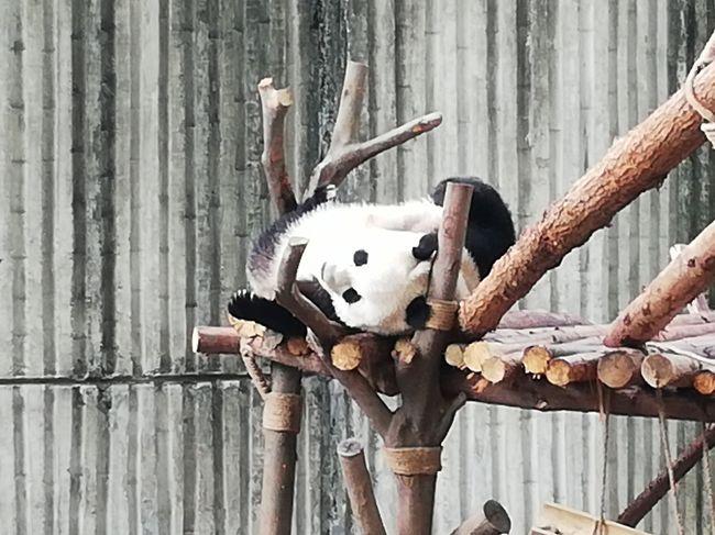 出張の合間での成都ジャイアントパンダ繁殖研究基地、前回2月で寒いせいかパンダがあまり活発ではなく暖かくなった6月再訪問記?的メモです。