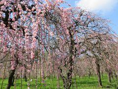 2019春、農業センターの枝垂梅・散り始め(1):3月16日(1):街路樹の枝垂梅、山茱萸、緑顎枝垂、白滝枝垂