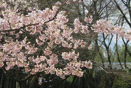 2019春、農業センターの枝垂梅・散り始め(3:完):3月16日(3):白木蓮、日本水仙、満開の桜、花韮、雪柳