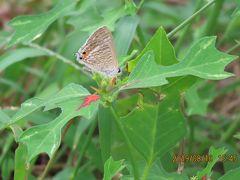 森のさんぽ道で見られた蝶(38)ウラナミシジミ、ムラサキシジミ、ルリシジミ、ツマグロヒョウモン等