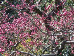 2019春、建中寺と徳川園の早春(3):3月8日(3):万作、馬酔木、マガモ、大曽根の瀧、白梅、紅梅、木瓜