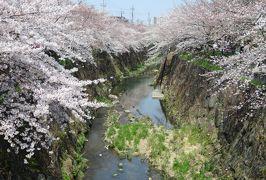 2019春、山崎川の桜探訪(4):4月4日(4):染井吉野の古木、里桜・関山、雪柳、野鯉、かなえ橋