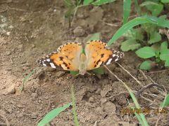 森のさんぽ道で見られた蝶(39)ヒメアカタテハ、ツマグロヒョウモン、ルリタテハ、イチモンジチョウ他