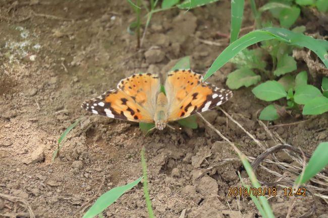 8月18日、午前10時50分過ぎに川越市の森のさんぽ道へ蝶の観察に行きました。 気温は34℃越えでした。 森の中はやや低く32℃くらいで風があれば一息付けます。  本日も樹液が出ているクヌギの樹を中心に観察しましたところ、アカボシゴマダラ、ルリタテハ、サトキマダラヒカゲ、イチモンジチョウ、コミスジ、キチョウがみられました。 畑地にはヒメアカタテハ、ツバメシジミ、ツマグロヒョウモンがみられました。 蝶以外にはカブトムシ、ノコギリクワガタも見ました。<br /><br /><br />*写真は畑地で見られたヒメアカタテハ<br />