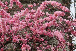 2019春、農業センターの枝垂梅・五分咲(2):2月27日(2):緑顎枝垂、呉服枝垂、紅枝垂、給水塔、金盞花