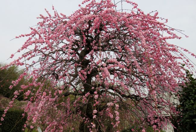 2019春、農業センターの枝垂梅・五分咲(1):2月27日(1):街路樹の枝垂梅、緑顎枝垂、万作、クロッカス