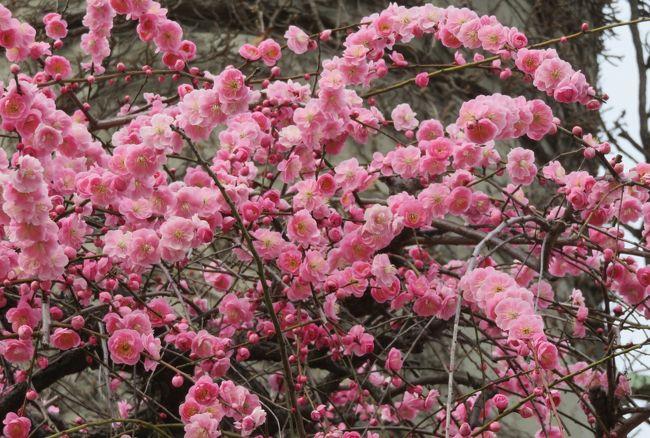 五分咲ほどになった、名古屋市農業センターの枝垂梅の紹介です。全部で700本ほどとされる枝垂梅は、300本強が紅梅系の『呉服枝垂』、300本弱が白梅系の『緑顎枝垂』とされます。残りの10種類で、100本ほどとなります。