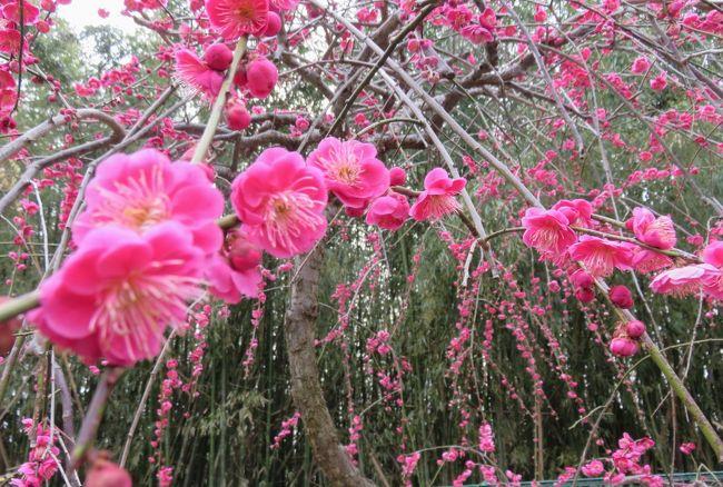 毎年、何度か見学している名古屋市農業センターの枝垂梅の紹介です。五分咲ほどの咲き具合でしたが、十分に見頃を迎えていました。途中、バスを使うこともできますが、家から歩いても片道30分ほどの距離です。