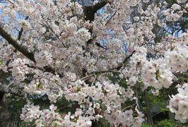 2019春、鶴舞公園から名古屋城への桜探訪(2):4月7日(2):鶴舞公園、椿、花菖蒲園、トネリコ、楓の新緑