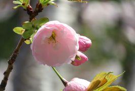 2019春、鶴舞公園から名古屋城への桜探訪(5):4月7日(5):染井吉野、外堀、土塁、石垣、護国神社、鳥居