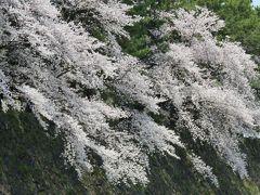 2019春、鶴舞公園から名古屋城への桜探訪(6:完):4月7日(6):染井吉野、外堀、二の丸大手二の門、鏡石