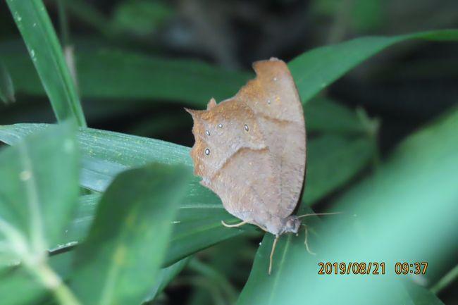 8月21日、午前9時20分過ぎに川越市の森のさんぽ道へ蝶の観察で行きました。 本日は午前中は良い天気ですが、午後から雨が降る予想になっていましたので、久しぶりに午前9時過ぎに行きました。 早く行ったことで、一年ぶりにクロコノマチョウに会えました。 それも樹液が出ているクヌギの傍で見つけました。 樹液に止まっていたと考えられます。<br />このほかに今年初めてキマダラセセリ、イチモンジセセリが今年初めて見られました。 本日見られたのはキアゲハやツマグロヒョウモン、ルリタテハ、アカボシゴマダラ、サトキマダラヒカゲ、ツバメシジミ、キチョウ、モンシロチョウ、ダイミョウセセリの計12種類でした。 <br />クロコノマチョウについては森のさんぽ道に完全に生息していることがわかりました。 本州南に生息している蝶ですが、暖冬のために関東地区にもいるようです。<br /><br />*写真はクロコノマチョウ
