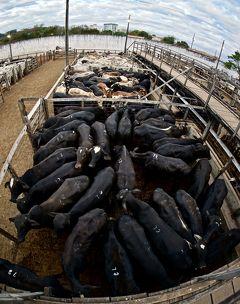 ブラジルの田舎町で「肉牛のオークション」に行ってみた~!#4(Patos de Minas/ミナスジェライス州/ブラジル)