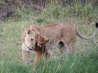 10度目のケニア ※4日目 【Zebra Plains Mara Camp 2連泊】