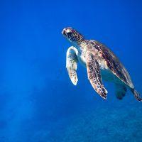 那覇から日帰りシュノーケリング3日目〜慶良間でアオウミガメに出会ったぁ