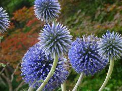 六甲高山植物園へ、サギ草とキレンゲショウマを見に行きました その1。