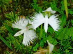 六甲高山植物園へ、サギ草とキレンゲショウマを見に行きました その2。