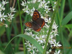 森のさんぽ道で見られた蝶(44)再びクロコノマチョウを見ました、ヒカゲチョウ、ベニシジミその他