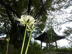 「常楽寺」の彼岸花_2019_白い彼岸花が咲き始めています(群馬県・太田市)