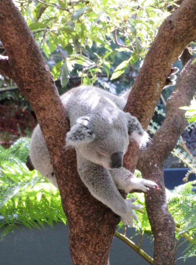 2019年 8月<br /><br />初シドニー観光の最終日。<br />コアラに会うために、タロンガ動物園に行きます!<br /><br />**********************************************<br />= 旅程 =<br /><br />● 8/7(水)<br />【 JL771 】B787-9(飛行時間9時間50分)<br />成田 19:20 発 ビジネスクラス(D)<br /><br />● 8/8(木)シドニー 6:10 着<br />旅行記(1) https://4travel.jp/travelogue/11537424<br /><br />【 JQ660 】A320(飛行時間3時間30分)<br />シドニー 10:40 発 → ウルル 13:40 着(のところ15時着) <br />《 Desert Gardens Hotel 泊 》<br />旅行記(2) https://4travel.jp/travelogue/11537549<br /><br />● 8/9(金)<br />ウルル日の出ツアー参加、その後 登山チャレンジ!<br />《 Desert Gardens Hotel 泊 》<br />旅行記(3) https://4travel.jp/travelogue/11632177<br /><br />● 8/10(土)<br />【 JQ661 】A320(飛行時間3時間)<br />ウルル 14:15 発 → シドニー 17:45 着<br />《 Sheraton Grand Sydney Hydepark 泊 》<br />旅行記(4) https://4travel.jp/travelogue/11615488<br /><br />● 8/11(日)<br />半日市内観光ツアー参加<br />《 Sheraton Grand Sydney Hydepark 泊 》<br />旅行記(5) https://4travel.jp/travelogue/11537571<br /><br />● 8/12(月)★<br />タロンガ動物園 他<br />《 Quality Hotel CKS Sydney Airport 泊 》<br />旅行記(6) https://4travel.jp/travelogue/11537573<br /><br />● 8/13(火)帰国<br />【 JL772 】B787-9 ビジネスクラス(D)<br />シドニー 8:15 発 → 成田 17:45 着<br />旅行記(7) https://4travel.jp/travelogue/11537577<br /><br />*ウルルとシドニーは30分の時差<br />*シドニー / ウルル往復のジェットスターは、LCCなのに、一人 AUD899 (約7万円)もした!<br />*JAL航空券は、エコノミーだと 成田/シドニー/エアーズロック(JAL+ジェットスター)で一度に申し込めるが、ビジネス指定だと 成田/シドニー間しか取れないため、シドニー/エアーズロック間は別予約になる。<br /><br />【 為替 】1AUD オーストラリアドル=約75-80円 <br /><br />【 表写真 】落ちそうで落ちないコアラくん(爆睡中w)