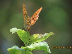 森のさんぽ道で見られた蝶(45)ミドリヒョウモン、ウラギンシジミ、キアゲハその他