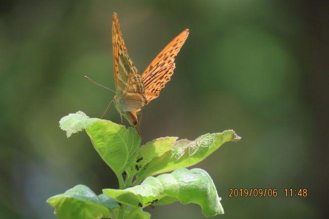 9月6日、午前9時半に川越市の森のさんぽ道へ蝶の観察に行きました。 この日は気温が33℃以上でまた、真夏の猛暑に会いました。 ニラの花に見られる蝶や樹液が出ているクヌギの樹に見られる蝶を目当てに行きましたところ、下記のようにミドリヒョウモンやウラギンシジミ、キアゲハ等が見られました。本日見られた蝶は計15種類でした。<br /><br />①ニラの花で見られた蝶としてはミドリヒョウモンの♀、ヒメアカタテハ、モンキチョウが見られました。<br />②樹液が出ているクヌギの樹に見られる蝶としてはサトキマダラヒカゲ、アカボシゴマダラが見られました。<br />③森の中の雑草地帯で見られる蝶としてはイチモンジチョウ、コミスジ、ウラギンシジミ、ツバメシジミ、ヤマトシジミ、ミドリヒョウモン♂、ヒカゲチョウ、イチモンジセセリ、ダイミョウセセリ等が見られました。<br />④森の中の畑地で見られた蝶としてはツマグロヒョウモン、キアゲハ、ヤマトシジミ、イチモンジセセリ等が見られました。<br /><br /><br />*写真はミドリヒョウモンの♂