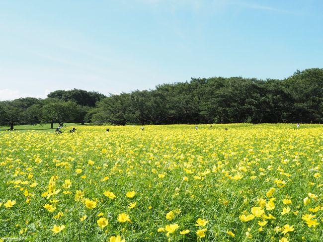 毎年楽しみにしている昭和記念公園のコスモス。<br />東花畑ではキバナコスモスのレモンブライトが見頃を迎えたとのことで出掛けてきました。<br />9月に入り秋めいてくると思ったのですが、この日はまた真夏のような暑さの中で、風に揺れるレモンイエローのコスモスに遊ばれました。<br />黄色一色の旅行記となりましたが、宜しければご覧ください。<br /><br />昭和記念公園のコスモスまつりのパンフレットによれば、<br />①原っぱ東花畑:キバナコスモス レモンブライト 70万本<br /> (見頃)9月中旬~下旬<br />②花の丘:センセーション 400万本<br /> (見頃)10月中旬~下旬<br />③原っぱ西花畑:イエローキャンパス/オレンジキャンパス/イエローガーデン 80万本<br /> (見頃)10月下旬<br />とのことで、1か月半ほどコスモスを楽しむことができます。<br />