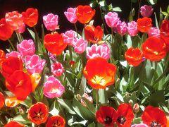色とりどりのチューリップとお洒落な洋館 オランダ大使館 特別一般公開
