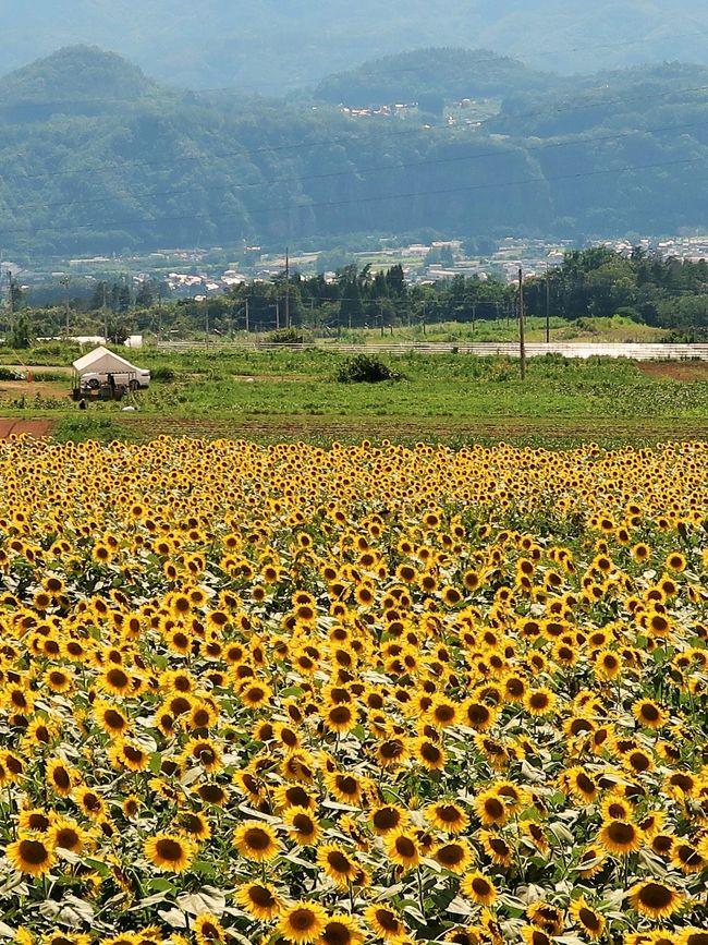明野サンフラワーフェス2019  <br />日照時間日本一の明野に約60万本ものひまわりが 南アルプス山脈や富士山などの美しい山々を背景に一面に咲き誇ります高原を吹き抜ける風と青い山々の素晴らしい眺望を背景に広がるひまわり畑。 「北杜市明野サンフラワーフェス」で夏の絶景をお楽しみください! <br />期間2019年7月20日(土) ~8月18日(日) 8:00 ~ 17:00<br />会場 浅尾新田会場 メイン会場 農村公園<br />https://www.hokuto-kanko.jp/events/list/?tribe_paged=2&amp;tribe_event_display=past より引用<br /><br />ハイジの村 については<br />http://www.haiji-no-mura.com/<br /><br />北杜市(ほくとし)は、山梨県北西部の国中地方に位置する市である。山梨県内の自治体として最北端にあたる。 <br />平成の大合併により、山梨県北巨摩郡に所属する8町村のうち、小淵沢町を除き、長坂町・高根町・大泉村・白州町・武川村・須玉町・明野村の7町村が合併して生まれた市である。残った小淵沢町も後に同市へ編入されたことにより、北巨摩郡は消滅した。 <br /><br />市名である「北杜」は、植物の「ヤマナシ」を意味する「杜」から、「山梨県(杜)の北部」という意味をこめて命名された。地理的・歴史的・文化的な由来が全くない完全な造語である。<br />(フリー百科事典『ウィキペディア(Wikipedia)』より引用)<br /><br />北杜市の観光 については・・<br />https://www.hokuto-kanko.jp/<br />https://www.hokuto-kanko.jp/event/sunflowerfestival2019<br /><br />日照時間とは、気象台やアメダスなど日照計により観測される太陽が照った時間数のことである。 <br />日照時間は、一日のうちで、日照計で測定される直達日射量が120W/m2以上である時間と定義される。日照なしの目安(120W/m2以下)は、直射光によって物体の影が認められない程度。<br />(フリー百科事典『ウィキペディア(Wikipedia)』より引用)<br /><br />明野の年間平均値は2595時間! <br />http://www.ybs.jp/radio/y-index/2010/06/25071900.html より引用