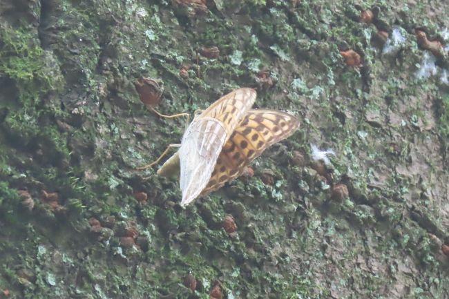 9月8日、午前9時45分過ぎに川越市の森のさんぽ道へ蝶の観察に行きました。 この日の天気予報では午後から雨が降る予定になっており、午前中は曇りの予報であったが、晴れ間がかなり見られたので急遽訪問しました。 このことが思わぬ発見をしました。 ミドリヒョウモンの♀が山桜の樹に止まっていてかなり長く居続けました。 少しづつ移動しながら止まっていました。 今までの考えでは考えられない挙動でした。 タテハチョウのような挙動でした。 クロコノマチョウが樹液が出ているクヌギの樹に止まっているのを目撃できました。 以下は今まで通りにまとめてみました。 本日見られた蝶は計14種類でした。<br />①ニラの花に止まっている蝶は‥ツマグロヒョウモンの♀、ヒメアカタテハ<br />②樹液の出ている樹に止まっている蝶は・・サトキマダラヒカゲ、ヒカゲチョウ、クロコノマチョウ、ルリタテハ、アカボシゴマダラ<br />③森の中の雑草地帯で見られた蝶は・・ダイミョウセセリ、ツバメシジミ、キチョウ、コミスジ、<br />④森の中の畑地で見られた蝶は・・ツマグロヒョウモン、ダイミョウセセリ、イチモンジセセリ、ヤマトシジミ、キアゲハ、ヒメアカタテハ<br /><br /><br />*写真は山桜の樹に止まっていたミドリヒョウモンの♀